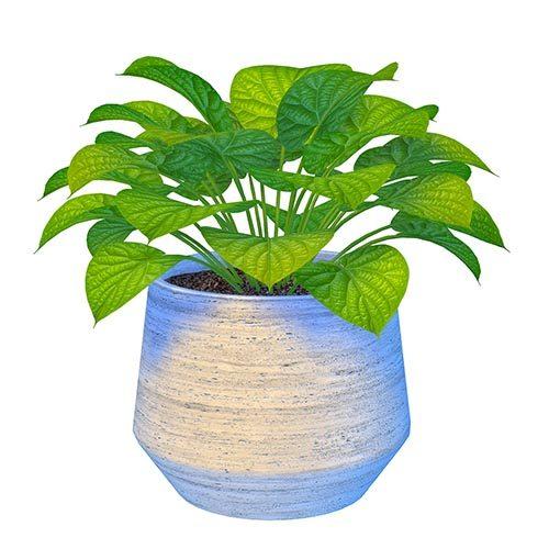 Shara Dioscoreaceae Plant