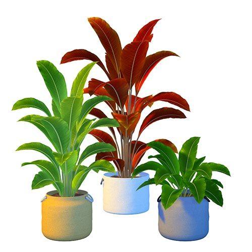 Shara Mango Plant