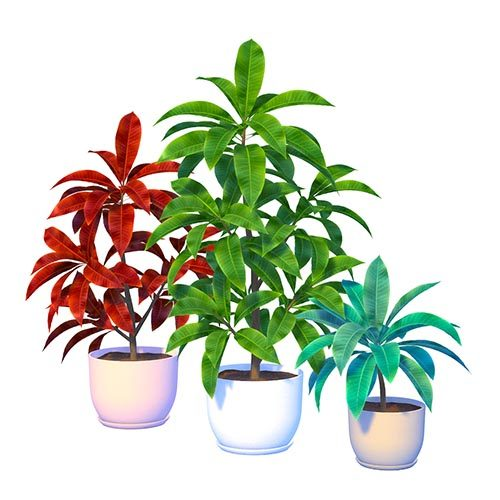 Shara Plumeria Plant